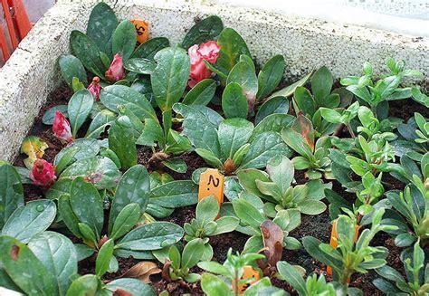 Rhododendron Vermehren by Vermehrung Und Veredlung Rhododendron Und Azaleen