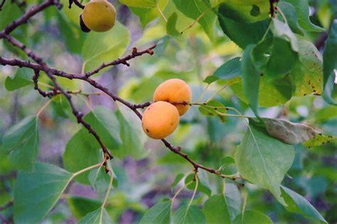 minnesota fruit trees scout apricot prunus mandshurica scout in sauk centre