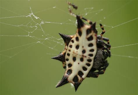 Garden Spider With White Back White Black Spiny Back Spider Flickr Photo