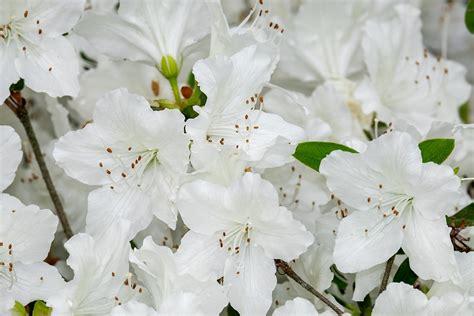 cura azalea in vaso azalea come coltivarla in casa o in giardino anche in