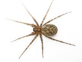 are barn spiders venomous tegenaria domestica barn funnel weaver washington