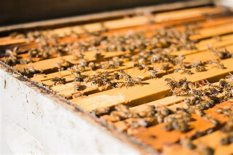 start a beehive in your backyard 100 start a beehive in your backyard brisbane backyard bees africanized bees is