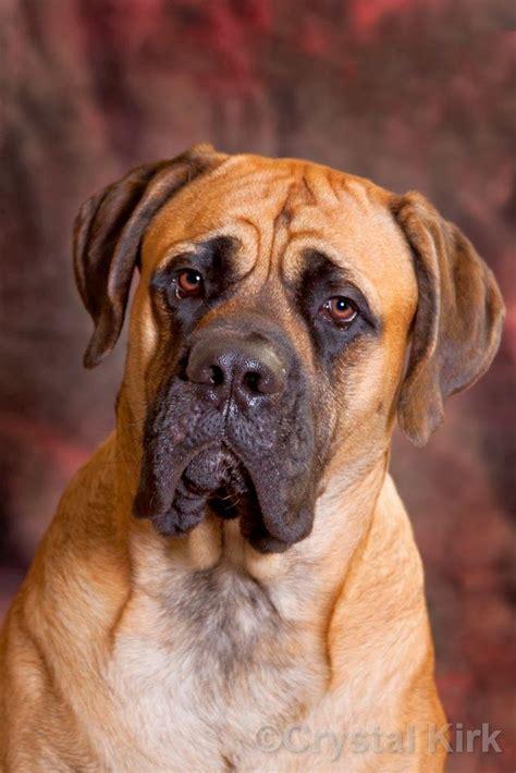 english mastiff dog house the 25 best english mastiff dog ideas on pinterest
