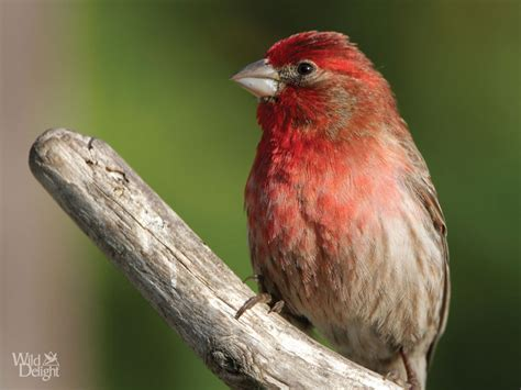 house finch food house finch wild delightwild delight