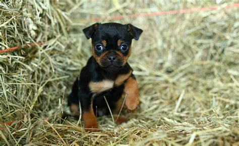 miniature rottweiler for sale terrier breeders