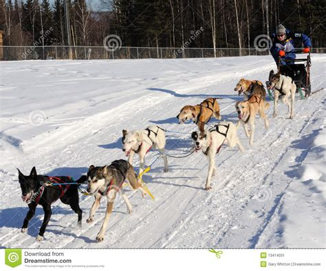 race in alaska limited american sled race alaska editorial photo image of seasonal