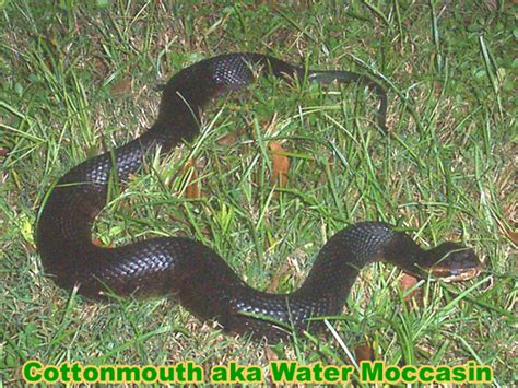 How To Catch A Frog In Your Backyard Copperhead Vs Cottonmouth Snake Photos Difference In Venom