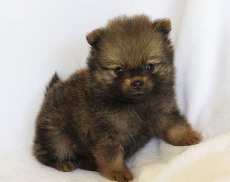 free pomeranian puppies in arkansas view ad pomeranian puppy for sale arkansas harrison usa