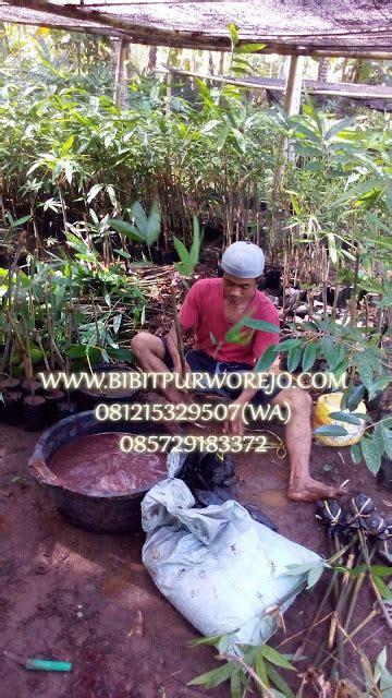 Bibit Bambu Apus jual bibit bambu tali apus murah jual bibit tanaman