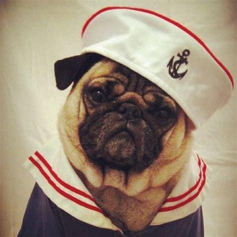 pug sailor this pug is a sailor pugsincostumes