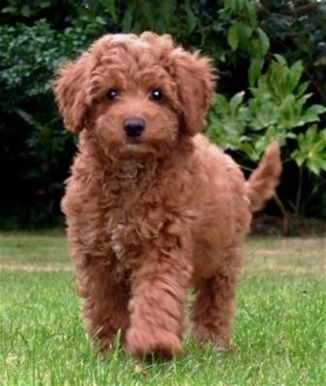 mini labradoodle puppies for sale nc miniature australian labradoodles for sale breeds picture