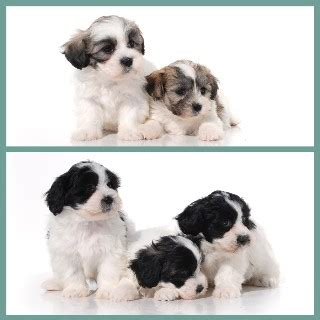 shih tzu puppies for sale belfast shih tzu puppies and dogs for sale and adoption freedoglistings uk