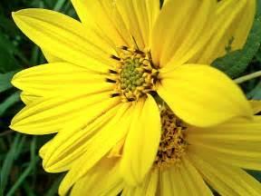 jsheldonwalker mystery yellow flower