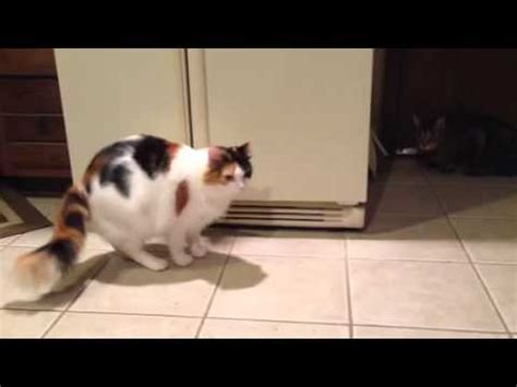 bengal cat talking screaming cutest cat must doovi