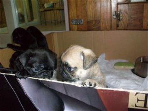 pugs for sale in florida cheap pug puppies for sale