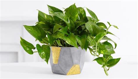 piante da interno resistenti piante da appartamento resistenti idee green