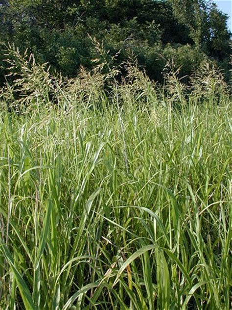 Scientific Name Of Grass by Johnson Grass Scientific Name Sorghum Halepense Family