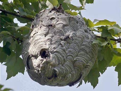 What Of Bees Make Paper Nests - wasp bees nest removal honeybee centre
