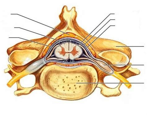 Cross Sectional View Of The Spinal Cord by Spinal Cord Cross Section