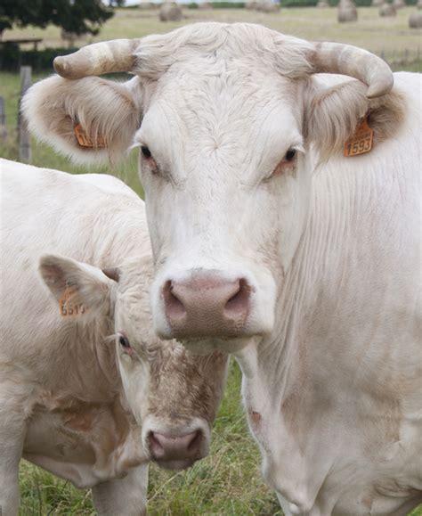 mucca charolaise charolaise deltagro