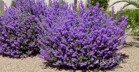flowering shrubs with purple flowers keywords encyclopdias and answers ramblings from a