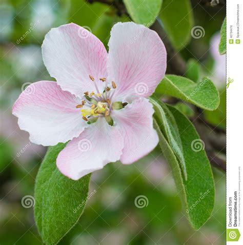 fiori melo fiore fiore di melo immagine stock immagine di estate