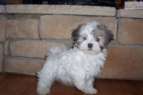 havanese missouri havanese puppy for sale near springfield missouri 046338ae bff1