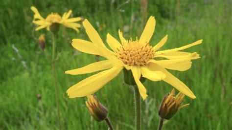 fiore di arnica fiori di arnica montana simona oberhammer
