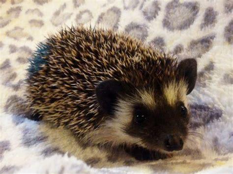 hedgehog colors hedgehogs black colors and black on