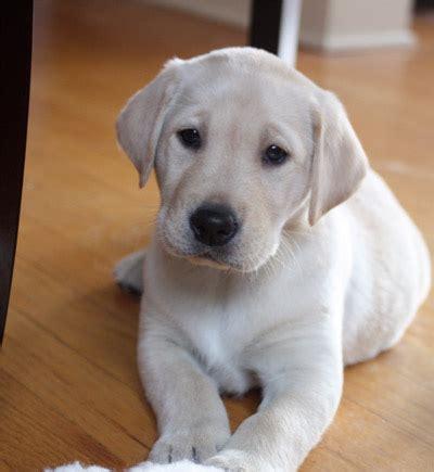 yellow puppy yellow labrador puppy