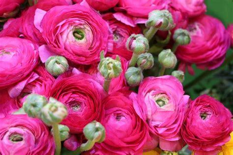 ranunkel ranunculus asiaticus richtig pflanzen und