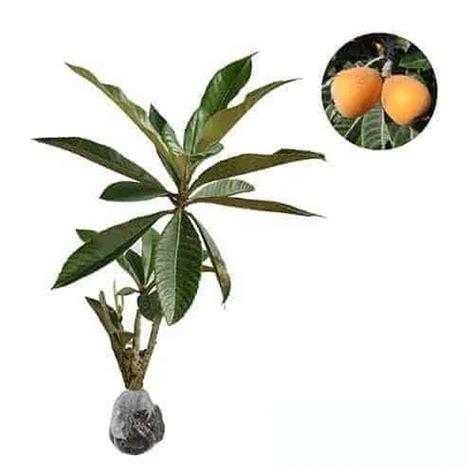 Bibit Tanaman Loquat Plum jual tanaman loquat bibit