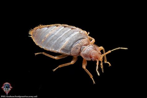 male bed bug adult male of the common bed bug cimex lectularius l