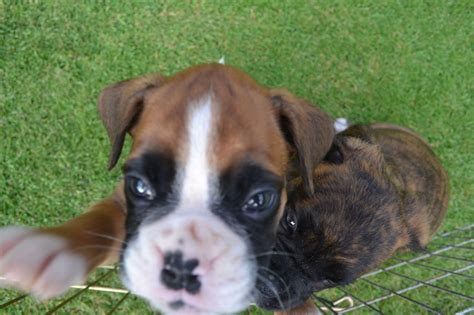 boxer puppies for sale kc registered boxer puppies for sale bishop auckland county durham pets4homes