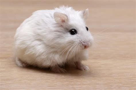 95 best images about roborovski hamster on hamster hamsters and