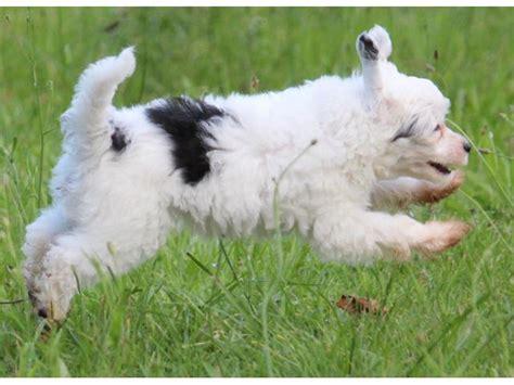 crested puppies for sale crested puppies for sale natal midlands puppies for sale