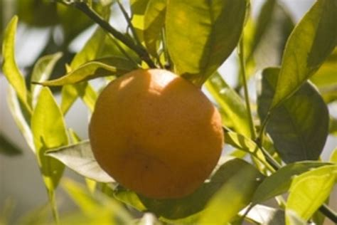 matelic image central florida fruit trees - Central Fruit Trees