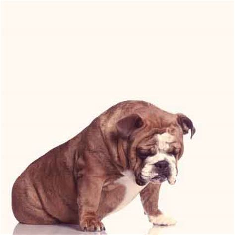 cushings in dogs canine cushing s disease five facts petcarerx