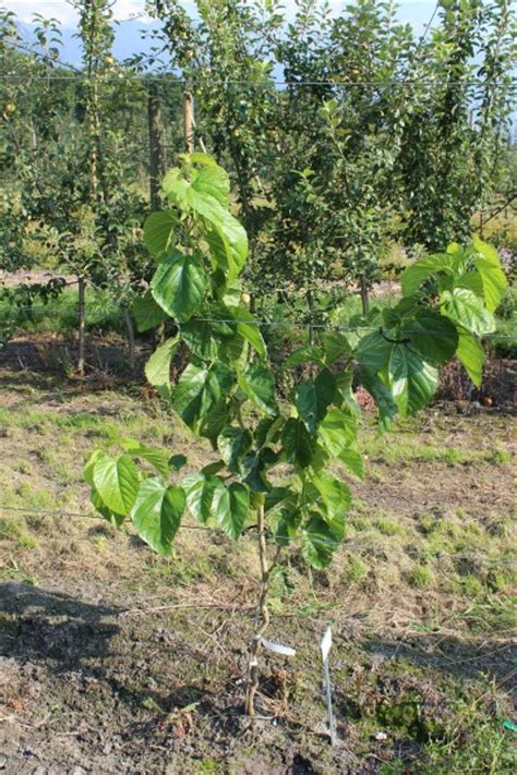 mulberry zickzack for sale buy berries online from lubera