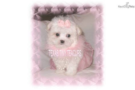 white yorkie poo white yorkie poo puppies yorkie poo breeds picture breeds picture