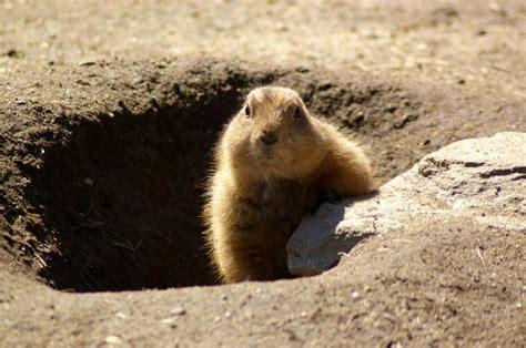 groundhog day que es la marmota caracter 237 sticas reproducci 243 n tipos