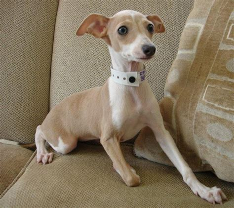 italian greyhound puppies 25 best ideas about italian greyhound puppies on italian greyhound