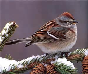 american tree sparrow spizella arborea beautiful birds