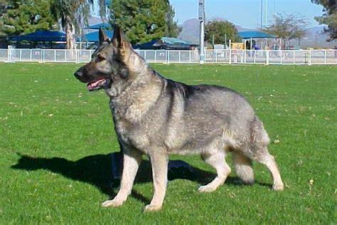 grey german shepherd german shepherd grey www pixshark images galleries with a bite