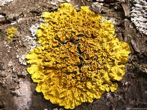 Tree With Yellow Flowers In Spring - xanthoria parietina