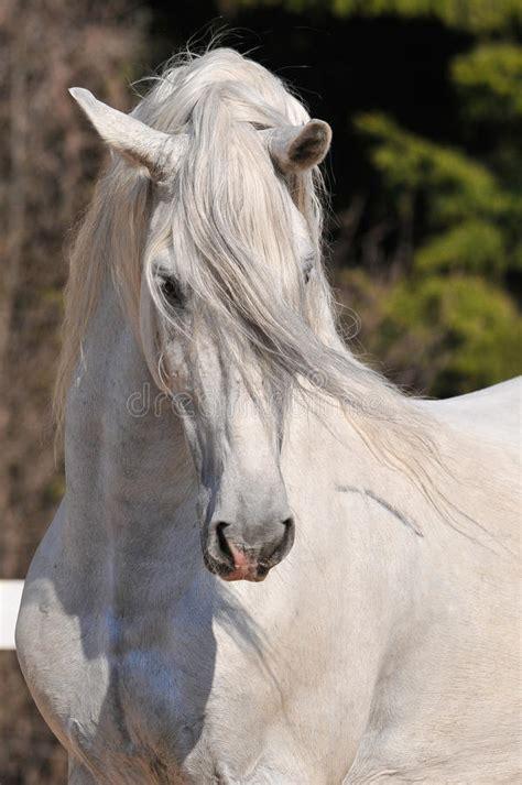 andalusian stallion portrait stock image image  wood