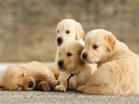 beautiful puppies free wallpapers desktop nature sports mobiles cars etc