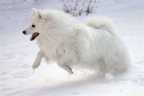 american eskimo puppy american eskimo hd wallpapers high definition free background