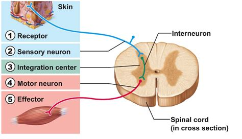 diagram of reflex reflex arc diagram explanation images how to guide and