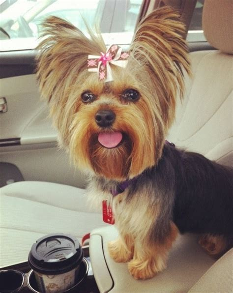 female yorkshire terrier haircut 8 best fun with photoshop images on pinterest yorkies